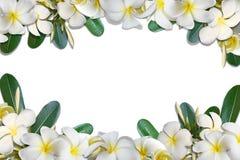 Frangipaniblumen und Blattrahmenisolat auf weißem Hintergrund Lizenzfreies Stockfoto