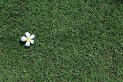 Frangipaniblumen und grünes Gras des neuen Frühlinges Lizenzfreie Stockfotografie