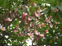 Frangipaniblumenblühen Rosa Frangipani, Plumeria, Tempel-Baum, Friedhofs-Baum stockfotografie