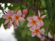 Frangipaniblumenblühen Rosa Frangipani, Plumeria, Tempel-Baum, Friedhofs-Baum lizenzfreies stockbild