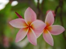 Frangipaniblumenblühen Rosa Frangipani, Plumeria, Tempel-Baum, Friedhofs-Baum lizenzfreie stockbilder