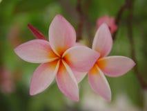 Frangipaniblumenblühen Rosa Frangipani, Plumeria, Tempel-Baum, Friedhofs-Baum lizenzfreie stockfotografie