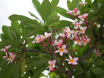 Frangipaniblumenblühen Rosa Frangipani, Plumeria, Tempel-Baum, Friedhofs-Baum lizenzfreie stockfotos
