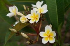 Frangipaniblumenniederlassung stockbilder