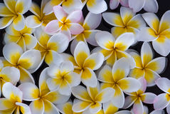 Frangipaniblumenschwimmen Stockbilder