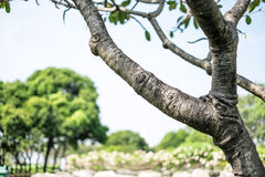 Frangipaniboom Royalty-vrije Stock Afbeeldingen