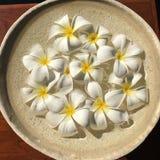 Frangipanien blommar i en bunke Royaltyfri Bild