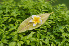 Frangipanien blommar med sidor Royaltyfri Bild
