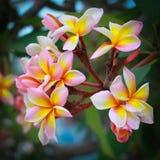 Frangipanien blommar med sidor i bakgrund Royaltyfria Foton