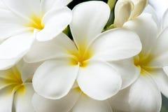 Frangipanien blommar vit och guling Arkivfoton