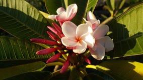 Frangipanien en tropisk växt för madeiraö som luktar så trevligt royaltyfri foto