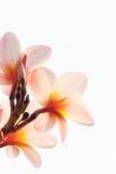 Frangipanien (Plumeria) blommar på en tree arkivfoton