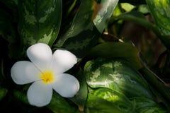 Frangipanien ?r en blomma av den thail?ndska ?brunnsorten arkivbilder