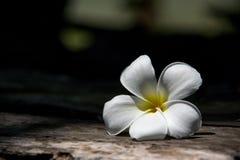 Frangipanien ?r en blomma av den thail?ndska ?brunnsorten royaltyfri fotografi