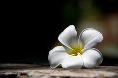Frangipanien ?r en blomma av den thail?ndska ?brunnsorten arkivfoto