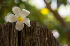 Frangipanien ?r en blomma av den thail?ndska ?brunnsorten fotografering för bildbyråer