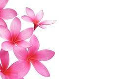 frangipaniplumeria Royaltyfria Foton