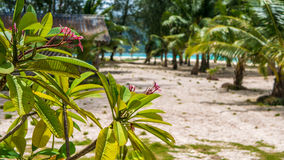 Frangipaniplumeria bloeit op zonnige dag, palmen en oceaanachtergrond, Koh Lipe, Thailand stock afbeelding