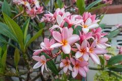 FrangipaniPlumeria blomstrar på trädet Royaltyfri Fotografi