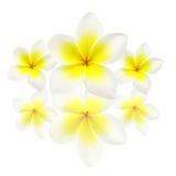 frangipanis λουλουδιών Στοκ Φωτογραφίες