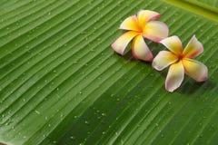 Frangipanis auf Bananenblatt Lizenzfreie Stockfotos