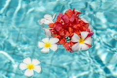 Frangipanis and Bougainvillea floating in a Pool stock images
