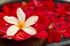 Frangipanis brancos e vermelhos Fotos de Stock