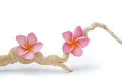 Frangipanis e Driftwood cor-de-rosa foto de stock