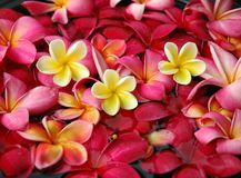 Frangipanis for floral bath Royalty Free Stock Photo