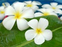 Frangipanis for floral bath Stock Photography
