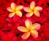 Frangipanis for floral bath Stock Photos