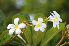 Frangipanis flower Stock Images