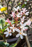 Frangipanis flower Royalty Free Stock Images