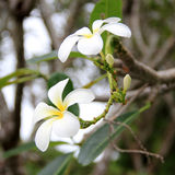 Frangipanis Royalty Free Stock Photography