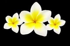 Frangipanis flowers Stock Photos