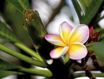 Frangipanis or plumeria Royalty Free Stock Photos