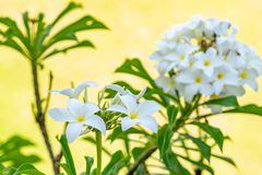 Frangipanis que florescem belamente em Bali, Indonésia imagens de stock