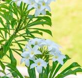 Frangipanis que florescem belamente em Bali, Indonésia fotos de stock