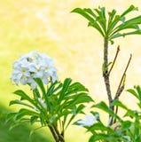 Frangipanis que florescem belamente em Bali, Indonésia fotos de stock royalty free