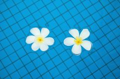 Frangipanis in Swimming Pool Royalty Free Stock Photo