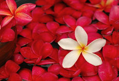 Frangipanis voor bloemenbad Stock Afbeelding