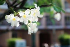 frangipanitree Arkivfoto