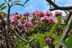 Frangipanitree met roze bloesems en een blauwe achtergrond Royalty-vrije Stock Fotografie
