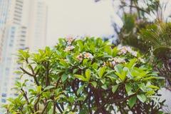 Frangipaniväxter med vibrerande färger och blommor i subtropiskt klimat royaltyfri bild