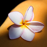 Frangipanni blomning Royaltyfria Foton