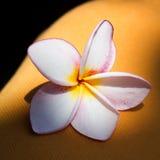 Frangipanni blossom Royalty Free Stock Photos
