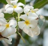 Frangipanni Blumen Stockbild