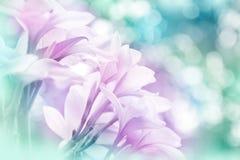 Frangipanni Blumen Stockfotos