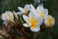 Frangipanni Blumen lizenzfreies stockfoto
