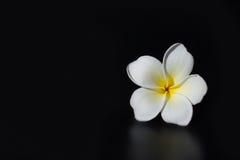 Frangipanni Blumen Stockfoto